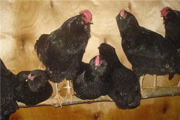 Куриц советуют кормить рыбной и костной мукой