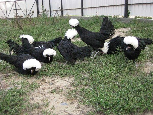 Голландская белохохлатая порода чаще встречается в зоопарках