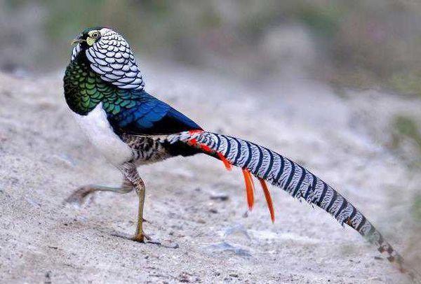 Родиной этих красивых птиц считается Китай