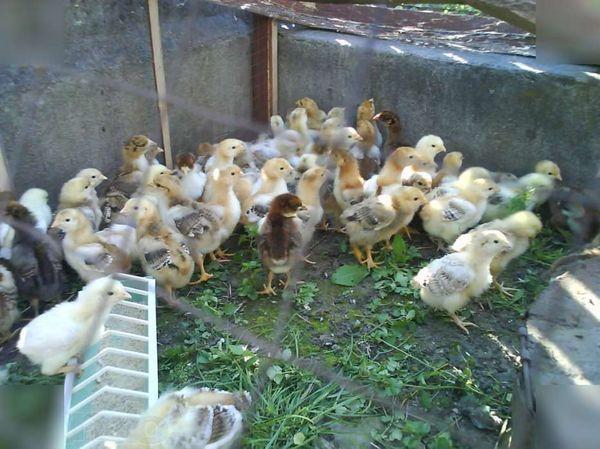 Ливенские цыплята растут медленнее и оперяются позднее