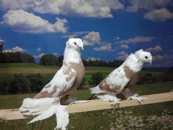 Многие птицеводы любят эту разновидность за характер