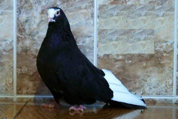 У Черно-пегих турманов белый клюв
