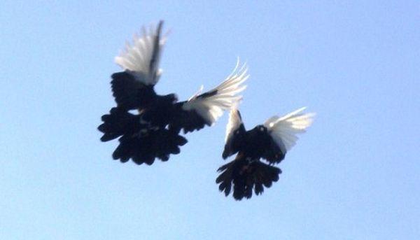 За перелет птица может совершать 3-6 кувырков
