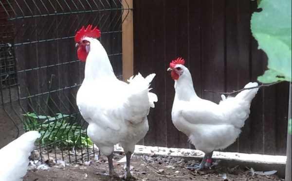 Бресс Гальская порода кур была завезена из Европы