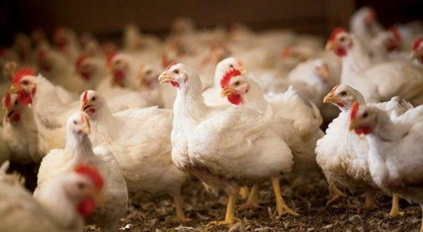 Курица – самая неприхотливая в содержании птица