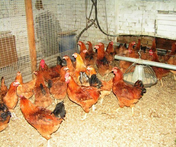 Полтавская глинистая порода домашних кур