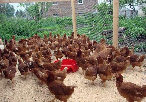 Взрослых кур с 7-недельного возраста кормят комбикормами