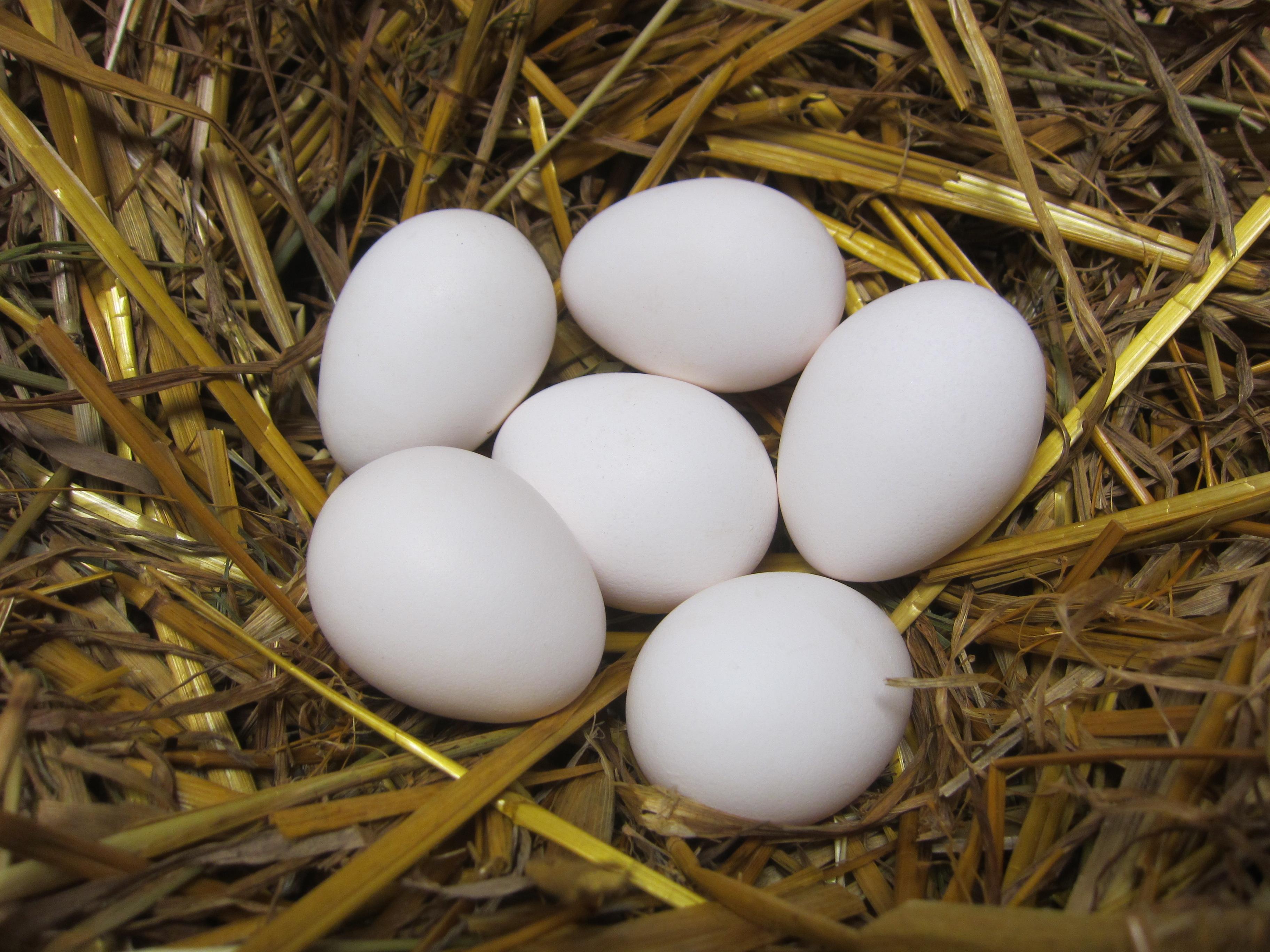 Годовой показатель яйценоскости составляет 150–170 яиц