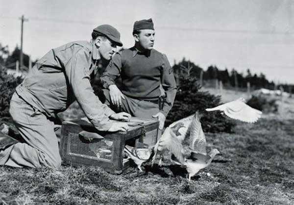 Голубеграмма как способ связи во время войны