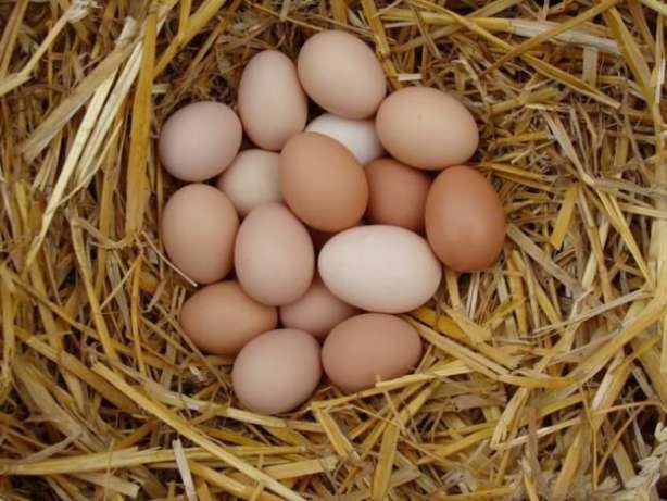 Годовой показатель яйценоскости составляет 200 яиц