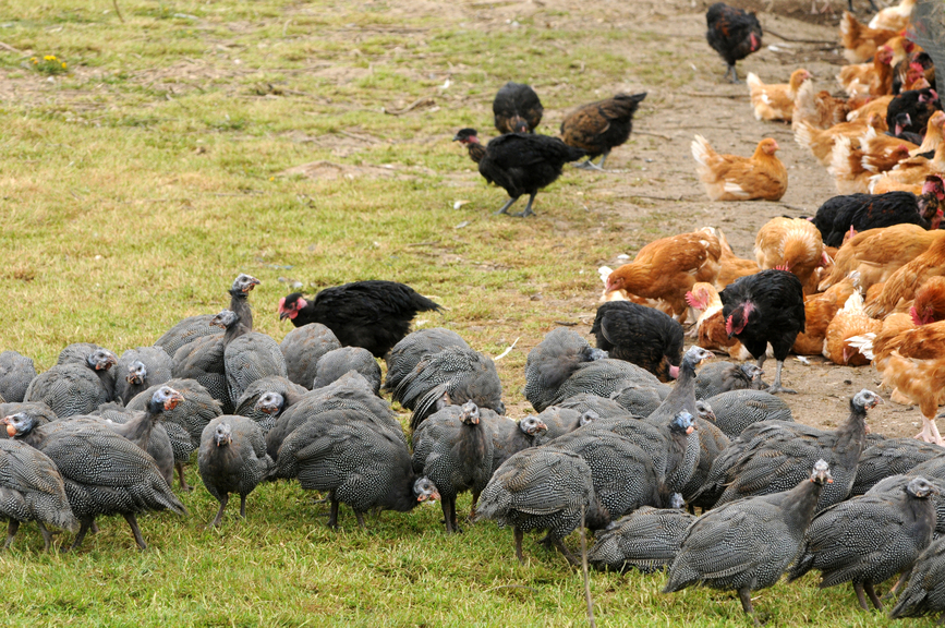 Экзотические птицы легко уживаются с другими обитателями птичьего двора