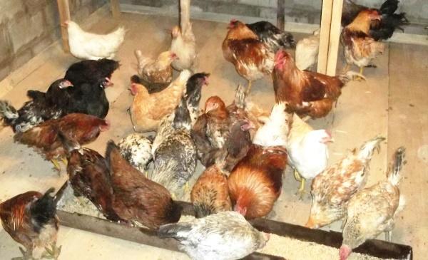 Кормление кур для хорошей яйцекладки