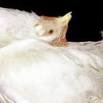Паралич Марека у молодой курицы