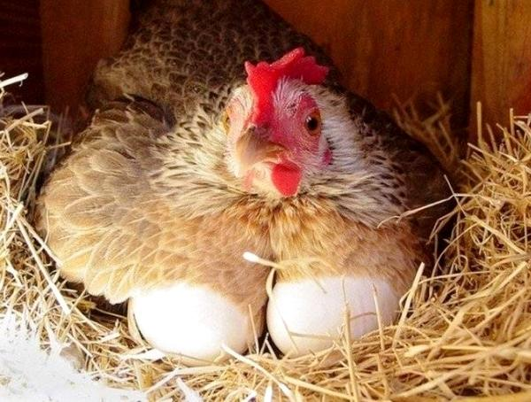 Курица несушка снесла яйца