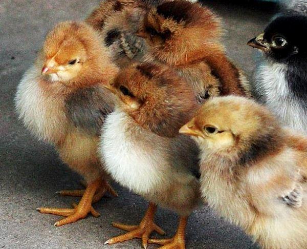 Цыплята породы кур Родонит