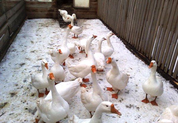 Содержание птицы в зимний период
