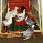 Как построить сарай для птицы