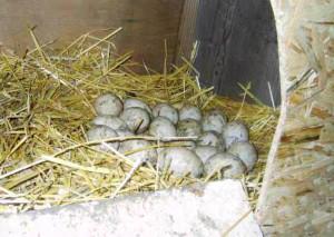 Яйца Башкирских уток в гнезде