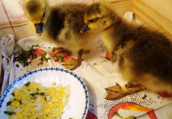 Чем кормить маленьких гусят
