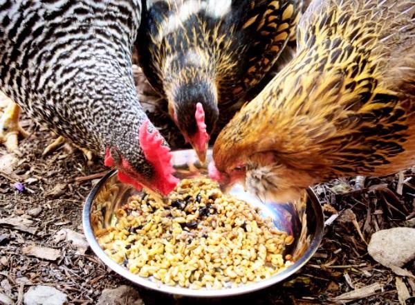 Смесь зерна для кормления кур