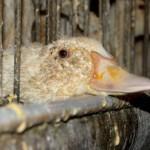 Заболевания домашней водоплавающей птицы