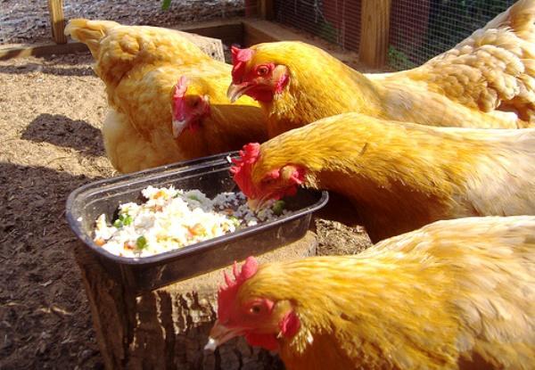 Кормление домашних куриц кашами