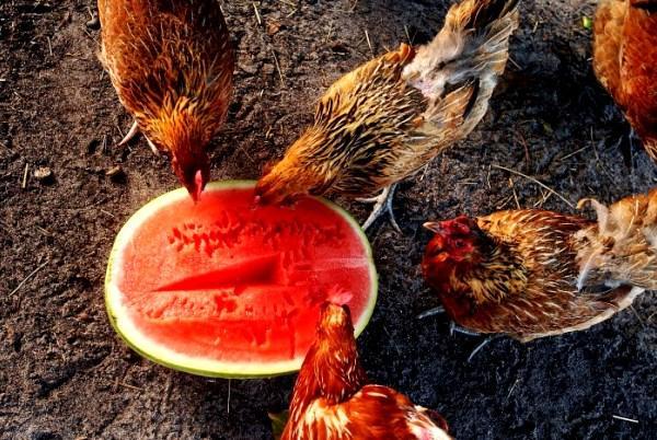 Куры несушки поедают арбуз