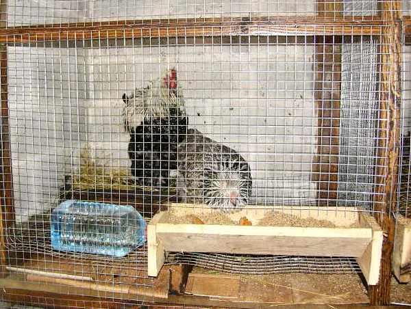 Клеточное содержание домашних кур