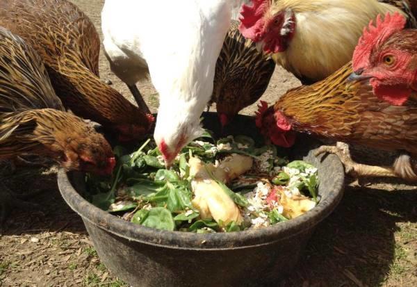 Разгрузочный день для куриц