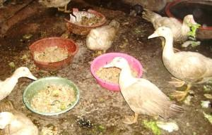 Рацион при авитаминозе птицы
