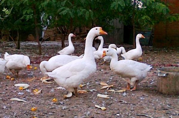 Летнее содержание линдовских гусей