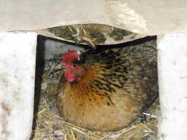 Курица высиживает цыплят из яиц