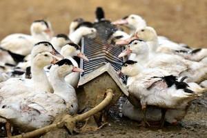 Откорм птицы на мясо