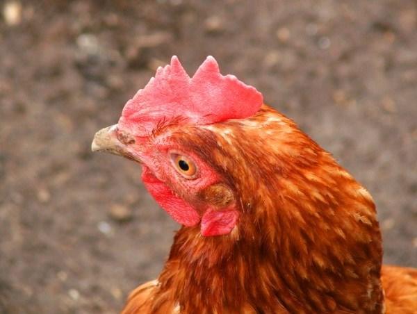 Внешний вид гребешка курицы несушки