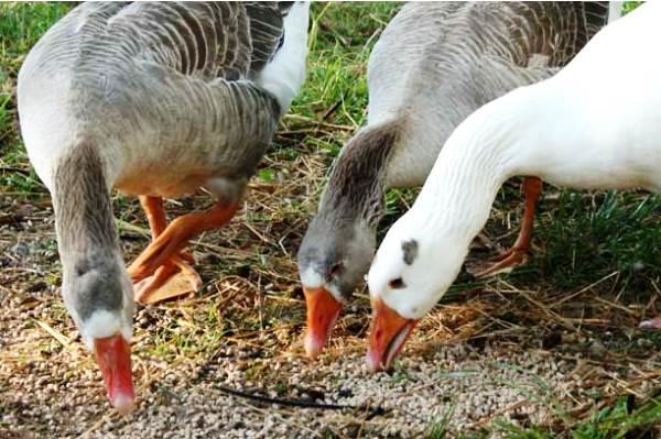 Зерновая подкормка для гусей