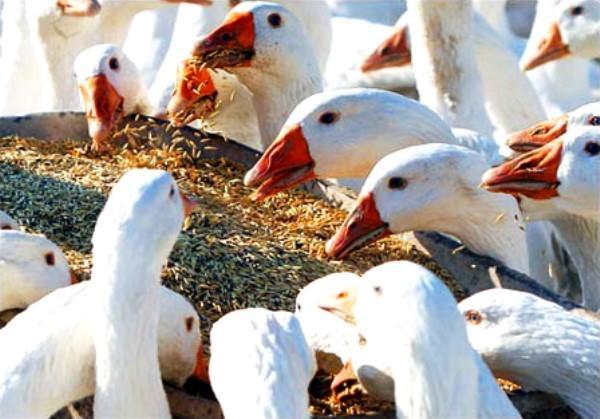Зерно в рационе птицы