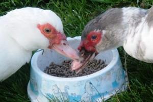 Комбинированные корма для птицы