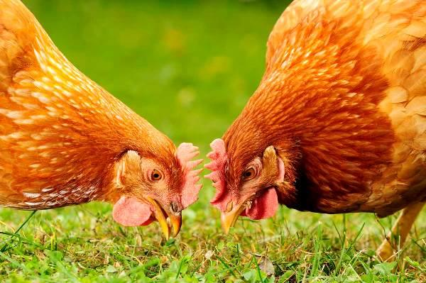 Суточная норма зерна для кур несушек