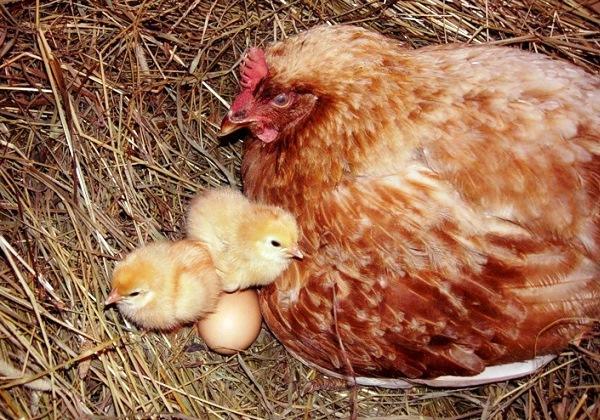 Наседка с маленькими цыплятами