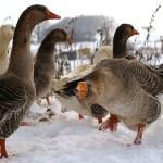 Зимний рацион для гусей