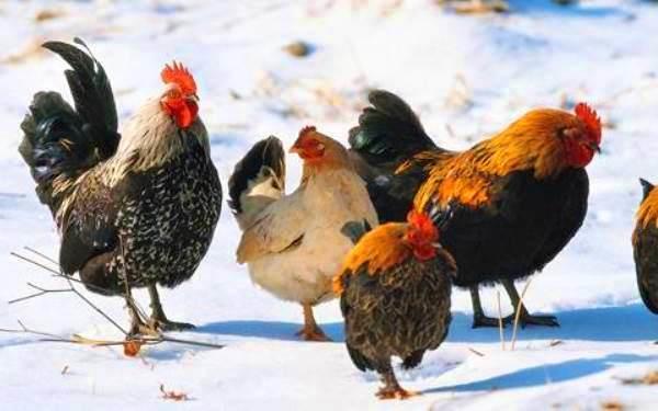 Несутся ли куры зимой