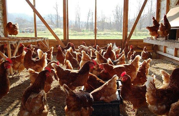 Курицы на напольном содержании