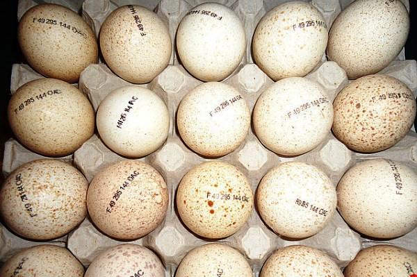 Яйца породы Хайбрид Конвертер