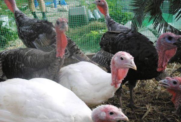 Гигиена при содержании птицы
