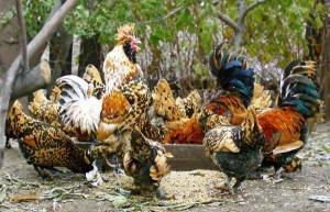 Содержание декоративной домашней птицы