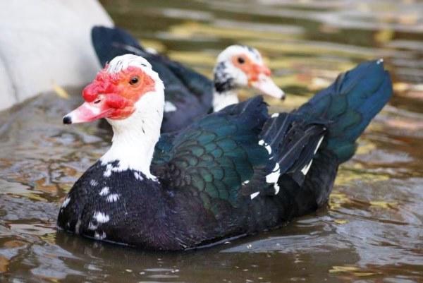 Домашнее разведение водоплавающей птицы