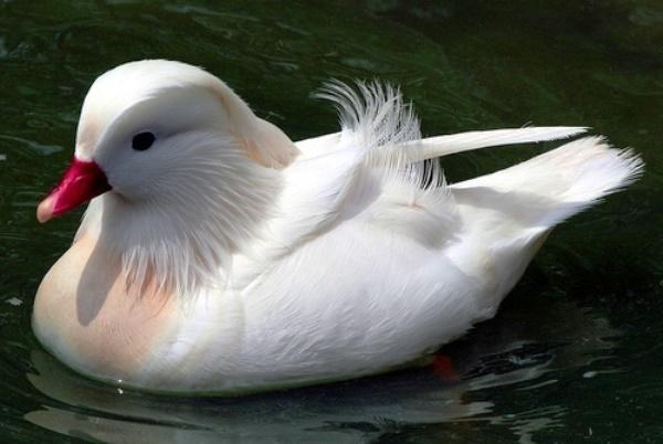 Утка мандаринка белая