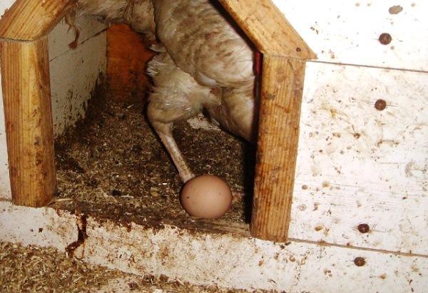 Как повысить куриную яйценосткость
