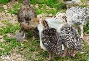 Антибиотики для домашней птицы
