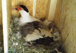 Гнездо для мускусной утки